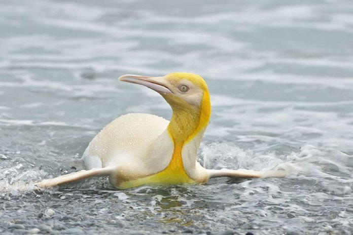 canary yellow penguin rare yves adams Ultra Rare, Canary Yellow Penguin Spotted on Remote Island in the Atlantic