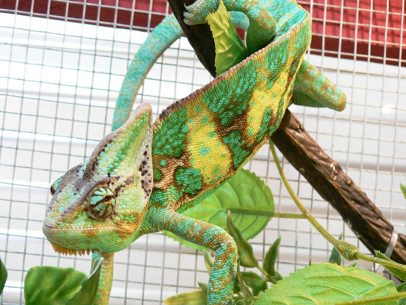 10 Things You Didnt Know About Chameleons TwistedSifter