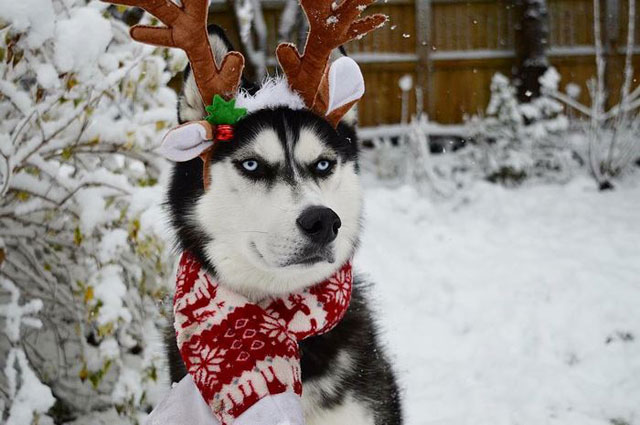 This Husky Wants No Part Of His Owners Christmas Card