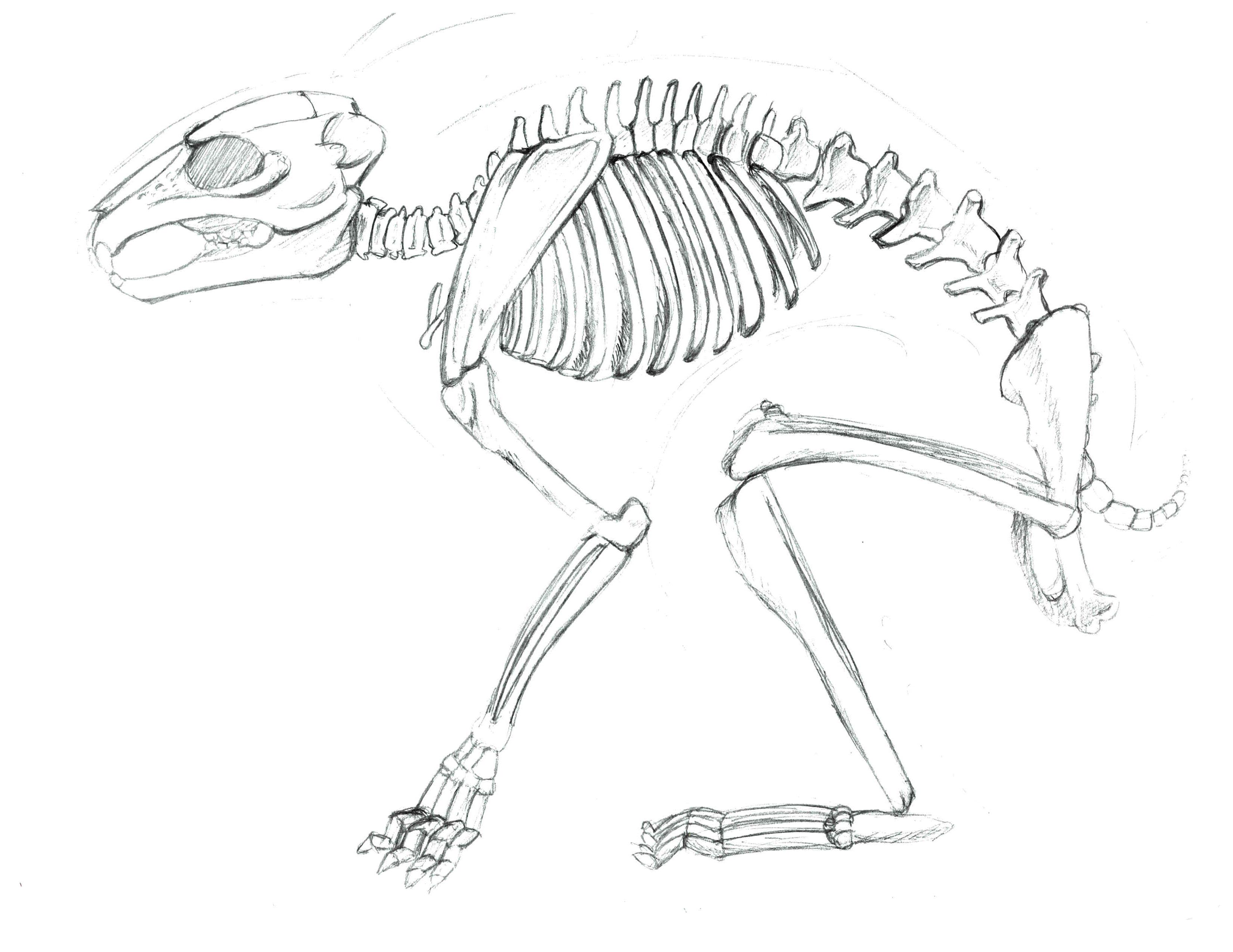 Rabbit Skeleton Drawing
