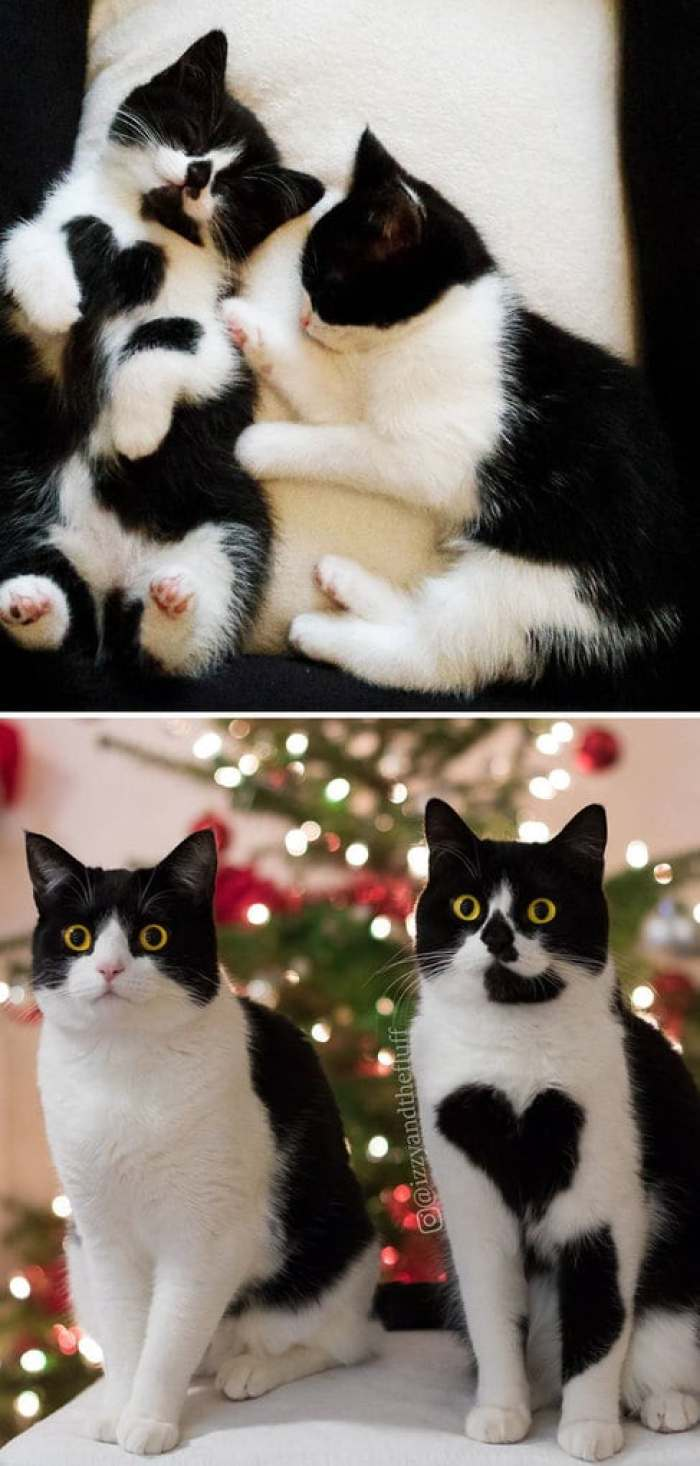 British Shorthair Sisters Then And Now