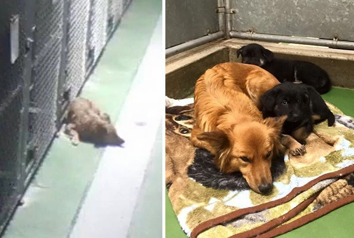 Maggie Snuck Out Of Her Kennel At Night To Comfort Crying Foster Puppies