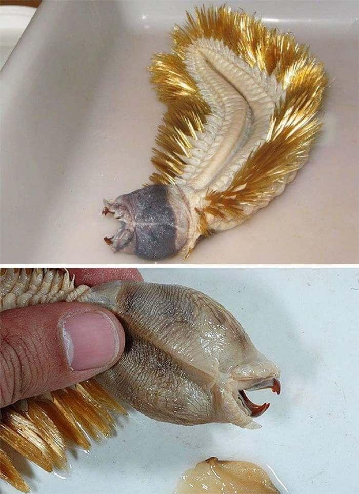 Виды антарктического червя, названные Eulagisca Gigantean