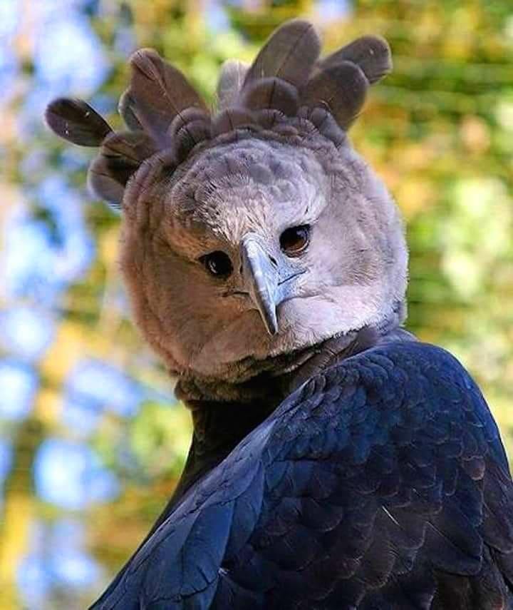 15 снимков южноамериканской гарпии, которая выглядит как человек в костюме птицы