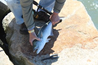 Bluefish. It looked like a fun fish to catch, they DO have a set of nasty little teeth...