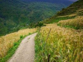 walking through terraced wheat fields