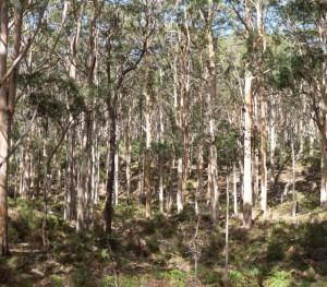 Beautiful eucalyptus forest in the Margaret River region of southwestern Australia.