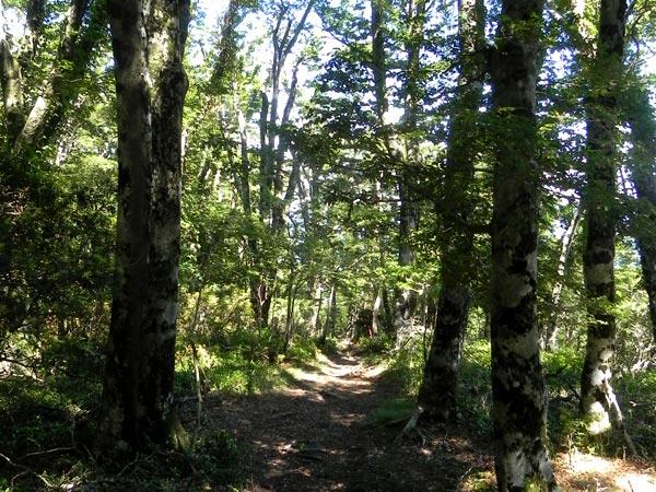 Japanese beech forest
