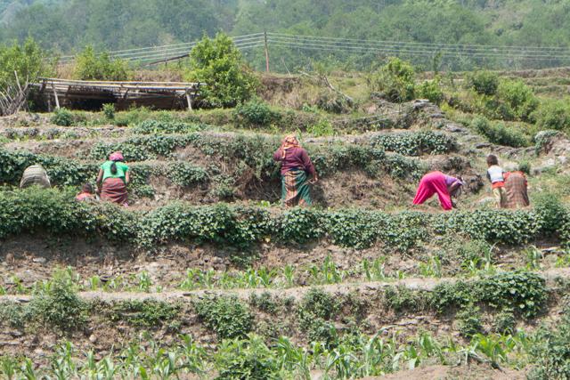 Women hard at work in the terraced fields.
