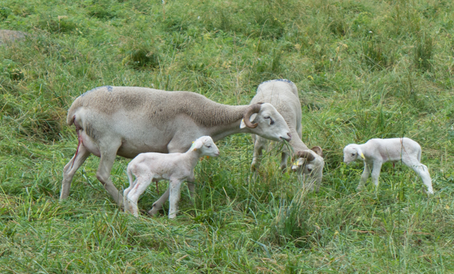 We stopped to watch some newborn lambs (born earlier that day).
