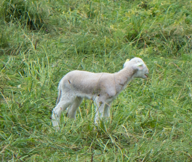 "Uh-oh.  This little lamb lost his/her mom.  Its ""bah""  sounded more like a human baby's ""whaaa""."