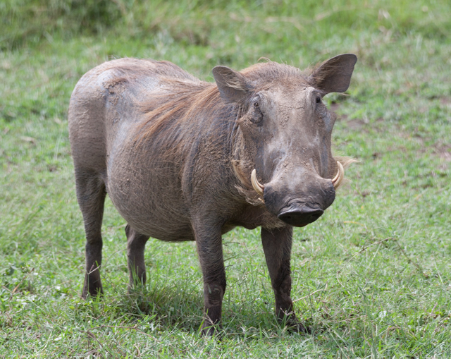 Warthog...with a face only a mother could love.