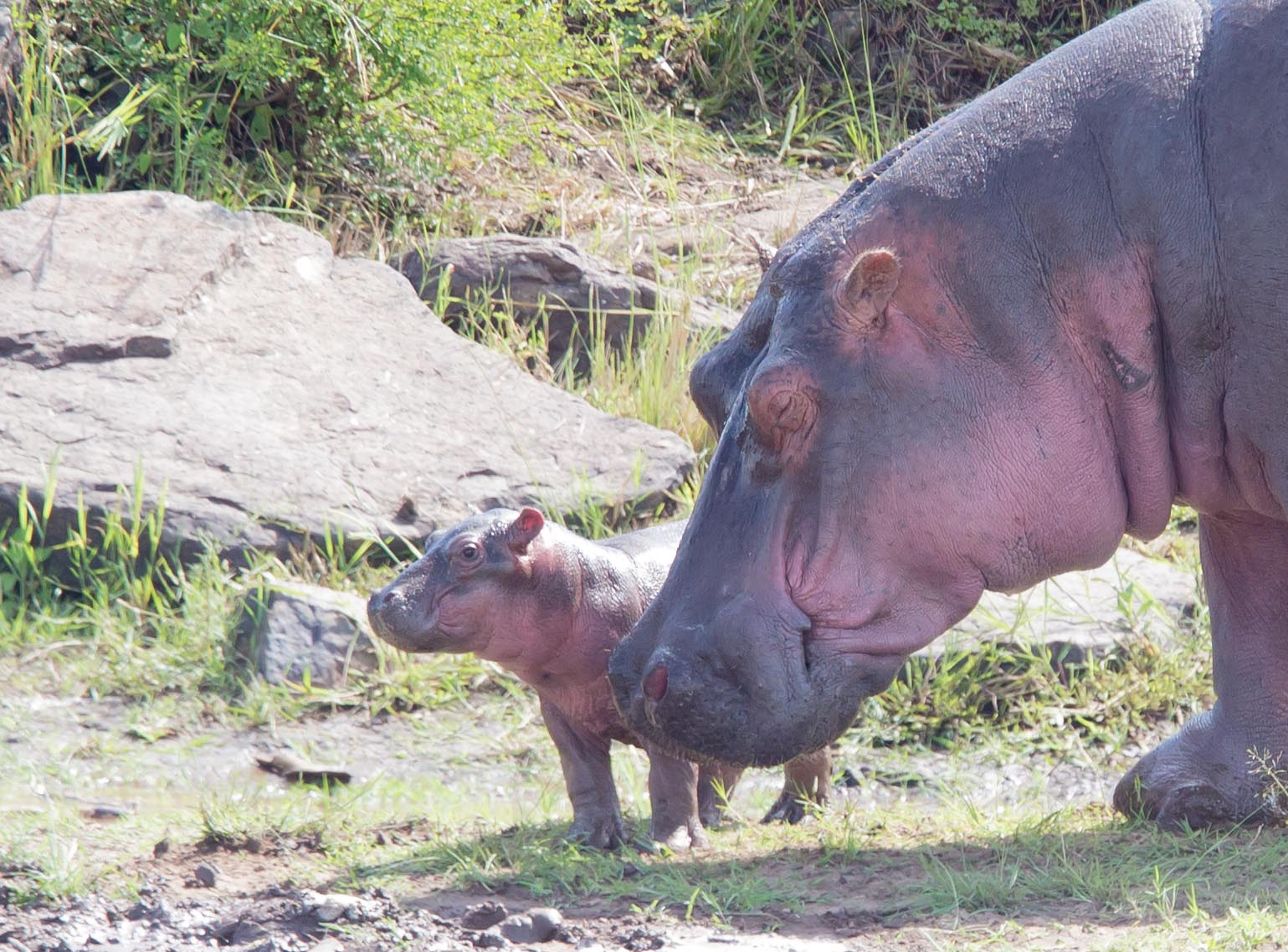 And a mother and baby dry out for a spell. How cute is this baby hippo??