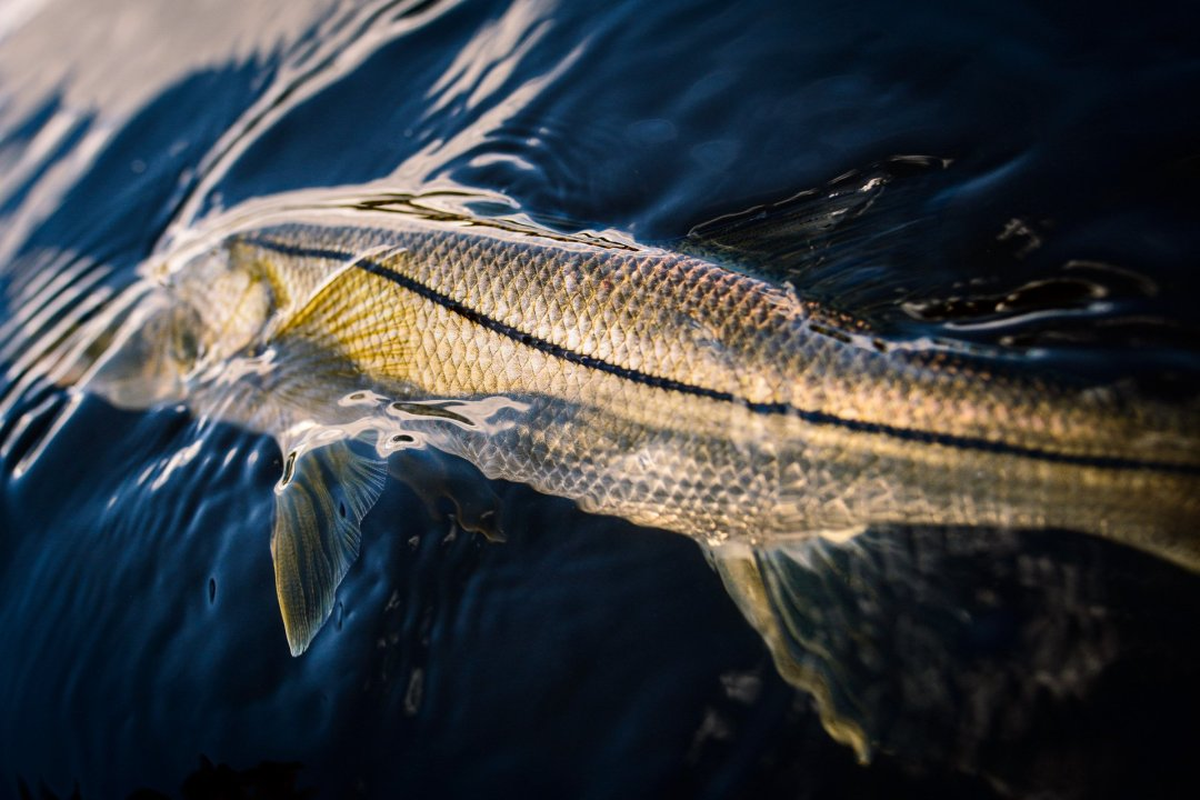 Two-Aught-Fly-Fishing-Co-Snook-Release