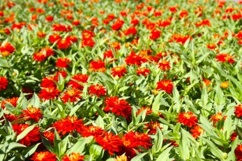 Red flowers.