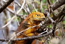 Iguana with style