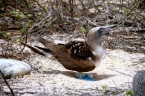 Booby and its eggs