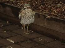 Esse pássaro viva nos cercando e esperando comida.