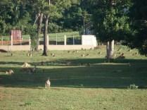 E esse bando também era bem maior, ficava no gramado das casas podando a grama quer dizer comendo grama