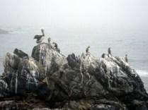 Habitantes da praia e da cidade: pelicanos
