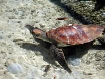 Tartarugas se recuperando