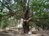 Nessa árvore colocavam alto falantes com som alto para esconder os gritos dos exterminados