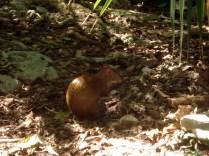 Agouti que fotografamos em Playacar. É um roedor pequeno parecido com o porquinho da guiné