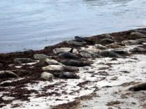 As praias são usadas por focas filhotes que buscam proteção das lontras