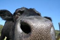 Cow close-up