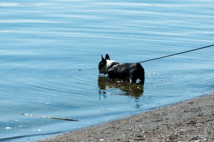 Hugo the French Bulldog, Lake Bolsena