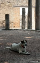 Pompeii stray dog
