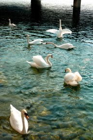 Swans on Lake Lucerne