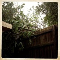 The neighbour's bamboo uprooted by the wind