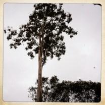 Windblown Eucalyptus tree