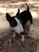 Cleo the miniature Bull Terrier