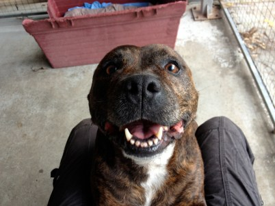 Aretha up close and personal with a huge staffy smile