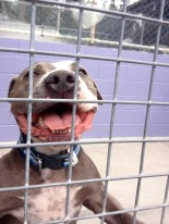 ar the smiling American Staffy