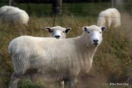 One sheep, two sheep...