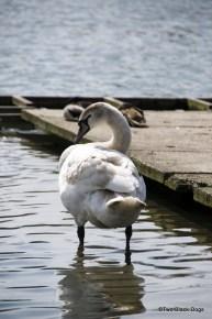 Versaille swan preening itself
