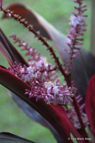 Cordyline bloom