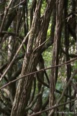 Mess of Strangler Fig vines
