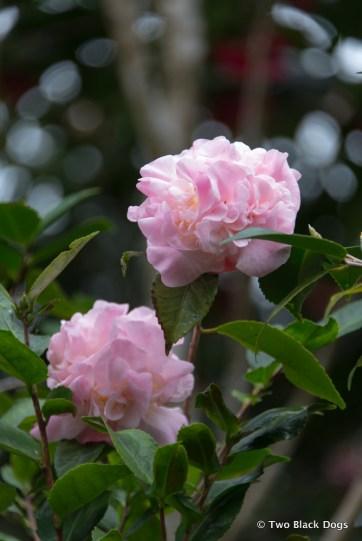 D'Marge Cafe camellia bloom