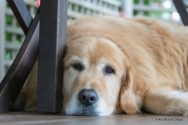 Nelson the Golden Retriever at D'Marge Cafe