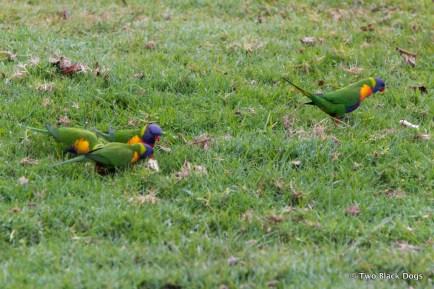 Rainbow Lorikeets eating on the grass