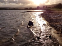Maxi the dog loves walking the water