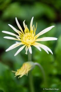 Gerbera in bloom