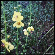 Yellow wildflowers and bee
