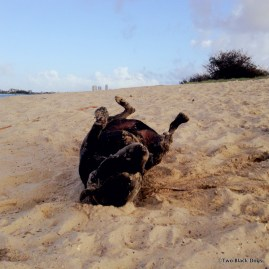 Bundy the dog rolling in something smelly in the sand