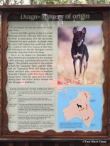 Dingoes - where do they come from