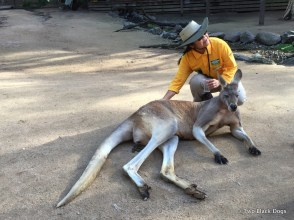 8 yo Male Kangaroo with a volunteer